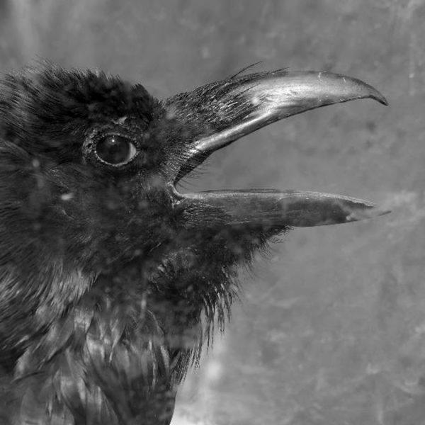 Vyšehradský krkavec Boris aneb nefalšovaný ptačí intelektuál