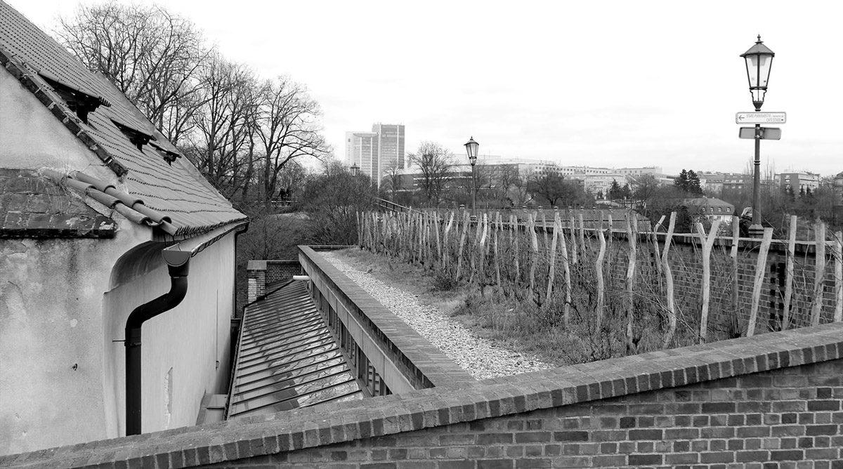 Vinice na střeše přístavku mezi Starým purkrabstvím a vyšehradskými hradbami.