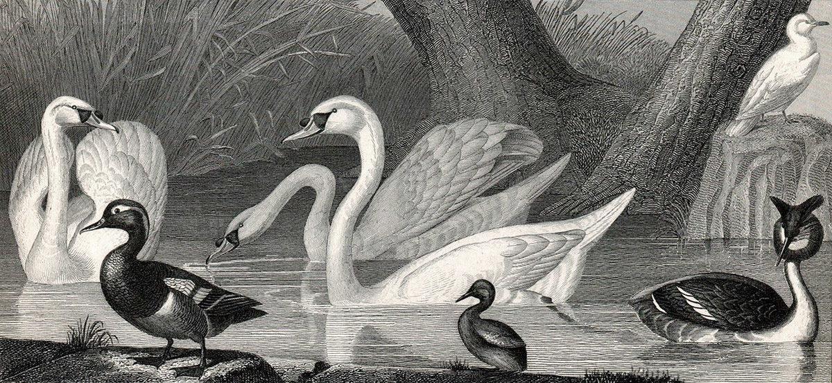 Labuť velká